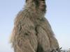 Affe auf Gibraltar
